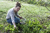 Woman harvests wild garlic (buckrams)