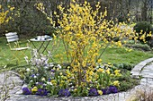 Small bed with Forsythia intermedia, Prunus incisa