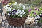 Basket with viola cornuta, bellis, sage