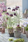 Put fritillaria meleagris in terracotta pots