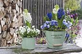 Hyacinthus orientalis 'Marie', 'White Pearl' and Viola cornuta