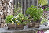 Baskets of parsley, Viola cornuta 'Beacon Yellow'