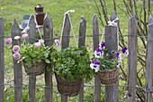 Basket with Viola wittrockianan (pansy), parsley
