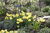 Narcissus' St. Patrick's Day 'with lavender