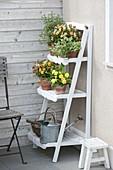 White shelf with Viola cornuta 'Apricot', Primula belarina