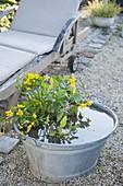 Caltha palustris (marsh marigold) in zinc tub