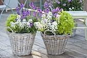 Baskets with Iberis (corymblood), tanacetum parthenium 'Aureum'