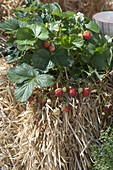 Grow strawberries on straw bales