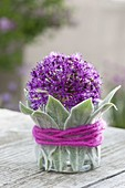 Single flower of Allium 'Purple Sensation'