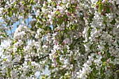 Apple blossoms in May malus 'Evereste'