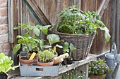 Vegetable young plants for planting