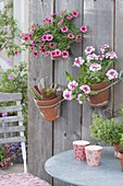Clay pots hanging on board wall, Verbena Wicked 'Hot pink'