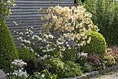 Rhododendron luteum 'Daviesii' (garden azalea)
