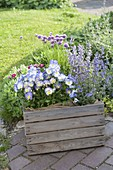 Old wine box planted with Nepeta 'Cat's Meow', viola