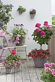 Pelargonium Interspecific 'Caliente Rose' (standing geranium)