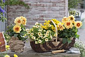 Basket and pot with Dahlia Medio 'Golden Eye', Calibrachoa