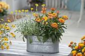 Bracteantha 'Sunbrella Orange' (Strawflower) and Chrysocephalum