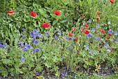 Blue-red bed with geranium pratense 'Johnson's Blue'