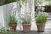 Flowering chives in pink, 'Corsican White' middle, 'Elbe' right
