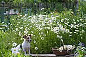 Flowering marguerite meadow with small seat