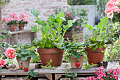 Clay pots with salad, strawberries