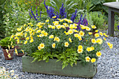 Green wooden box with Argyranthemum frutescens 'Butterfly'