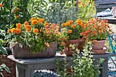 Tagetes patula, Nemesia Sunsatia Plus 'Orange Blood'
