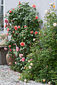 Roses on the house wall