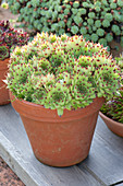 Sempervivum 'Brand New Heavies' (clay, rookery) in clay pot
