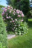 Rosa 'Bonica 82' (small shrub rose), often flowering
