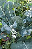 Broccoli (Brassica oleracea var. Italica) in the vegetable patch
