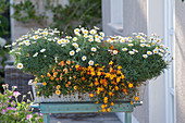 Argyranthemum 'Sweet Milk', Biden's Beedance