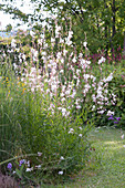 Gaura lindheimeri 'Whirling Butterflies' Giant Candle