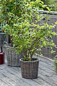 Raspberry 'Sanibelle' (Rubus idaeus) and blueberry 'Berkeley'