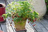 Strawberry 'wild strawberry alps red' (Fragaria vesca) in clay pot