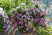 Petunia Bonnie 'Carmine Star' (petunia) in the basket