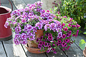 Verbena Superbena 'Sparkling Amethyst' and Calibrachoa