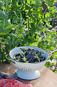 Enamelled strainer with freshly picked capuchin peas 'Blauschokkers'