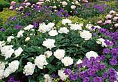 Paeonia lactiflora 'Shirley Temple' white, fragrant