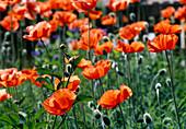 Papaver orientale (Turkish poppy) flowers and buds