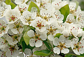 Pyrus communis flower (pear)