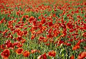 Papaver rhoeas (poppy, poppy field
