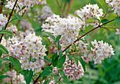 Deutzia kalmiiflora (Deutzia, Kalmien Deutzie)