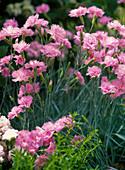 Dianthus plumarius (True plumage), pleasant scent