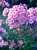 Phlox paniculata 'Country Wedding'