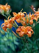 Hemerocallis hybrid (daylily)