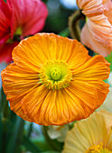 Papver (silk poppy), orange, macro