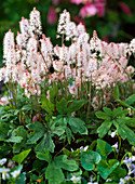 Tiarella cordifolia (foam bloom