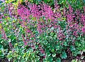 Heuchera 'Strawberry Swirl' (pink blossom purple bells)