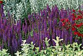 Salvia nemorosa 'Caradonna' (ornamental sage, Mentha suaveolens)